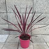 코르딜리네 핑크스타|