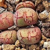 Conophytum ficiforme ssp (피시포르미)5두