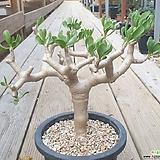 푸카타 아프리카식물