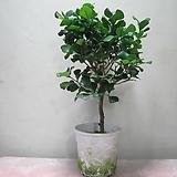 스윗하트,하트고무나무1985-외목대,동일품배송,높이 52cm