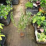 긴잎아카시아 야생화 대품 60~90cm 수형랜덤