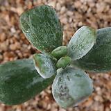 호피방울복랑금(컷팅)뿌리무