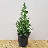 엑설런트포인트/미국편백나무