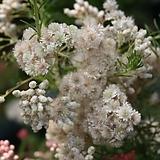 [수입식물]라이스플라워/밥풀꽃(토양산도에 따라 꽃색상이 바뀔수도 있어요~)|