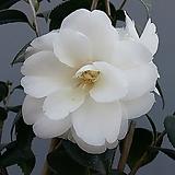 겹동백.흰색|