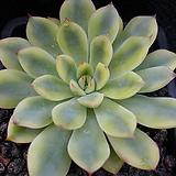 황홀한연꽃금(A+)-PK052 Echeveria pulidonis