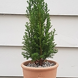 [완성품]엑설런트포인트/미국편백나무|