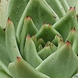 멕시코마리아 특이종(손톱이 두개로 생기네요)|