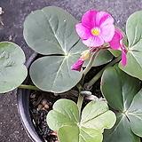 왕꽃 사랑초