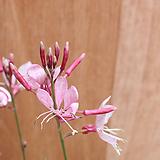 무늬바늘꽃