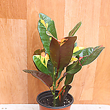 레이디크로톤|Codiaeum Variegatum Blume Var Hookerianum