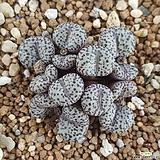 conophytum obcordellum ssp. mundum|