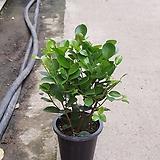프랑스고무나무 수입식물 중품 45609950