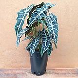 [진아플라워] 특이한 잎 거북알로카시아 화분 160|
