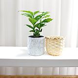 아라비카 커피나무 소형