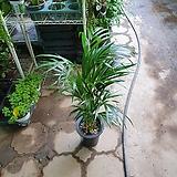 아레카야자 초특가 공기정화식물 50~70cm