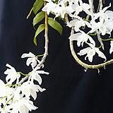 덴드로비움.아노스뭄 알바.(흰색꽃.깨끗한색).석곡.아주좋은향.향기가 큰내줍니다.인기상품.고급종.
