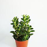 레마탄 포름알데히드 제거식물|