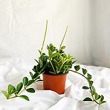 홀리아페페 귀여운 공기정화식물|