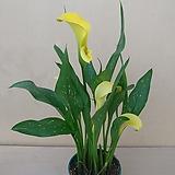 노랑카라 꽃대가득