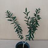 올리브나무 외목대 #2