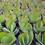 당인|Kalanchoe thysifolia