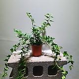 늘어지는아이비소품 공기정화식물 15303520