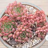 핑클루비(묵은한몸)|Sedeveria pink rubby