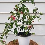 [특가할인]하와이자귀나무/인도자귀나무|