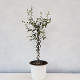 올리브나무 토피어리형