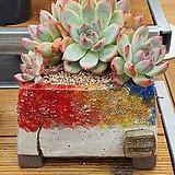 야생 콜로라타|Echeveria colorata