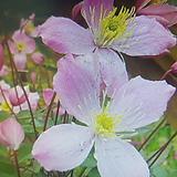 몬타나으아리.분홍,특대품|