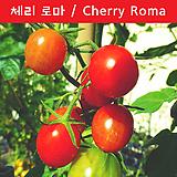 체리 로마  Cherry Roma 달콤한 토마토  희귀토마토 씨앗 한정판