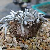 알스토니 0488|Avonia quinaria ssp Alstonii