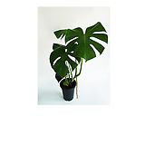 몬스테라 L 실내공기정화식물|
