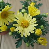 [묶음할인]구절초(노랑꽃)|