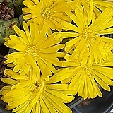 conophytum 루이사에[|