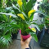 카라 노랑색 꽃 초화 30~50cm