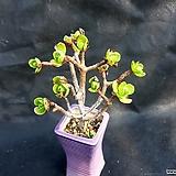 선동창(분채배송) Aeonium spathulatum