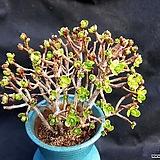 선동창 Aeonium spathulatum