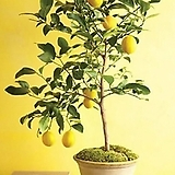 외목수형 레몬트리♥열매 열렸어요~♥열매열린 레몬트리♥노란열매 열리는 오리지널 레몬나무♥시트러스|