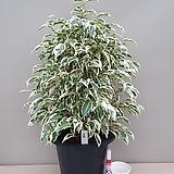 원종벤자민나무-1급공기정화식물대품100