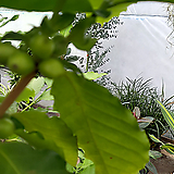 커피나무아라바카-성목열매가 주렁주렁|