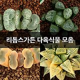리톱스가든 다육식물 모음|Lithops
