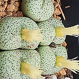C.truncatum 트런카튬5두|