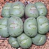 Conphytum uviforme ssp 유비포르미군생|
