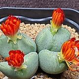Conophytum bilobum 빌로붐|