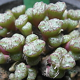 186-Conophytum obcordellum ssp. rolfii CR1004(롤피군생) 