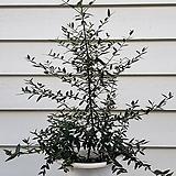 [단품특가]올리브나무|