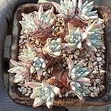 화이트그리니묵은둥이자연군생|Dudleya White gnoma(White greenii / White sprite)
